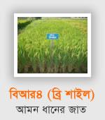 BR4 Aman rice