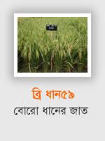 BRRI Dhan59: Aman rice variety