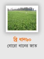BRRI Dhan60: Boro rice variety