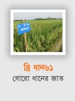 BRRI Dhan61: Boro rice variety