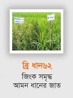BRRI Dhan62: Aman rice variety