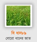 BRRI Dhan89 - Boro Variety
