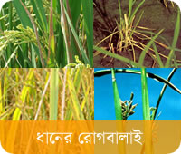 Rice Diseases and Its Management