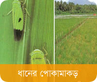 Rice Insects and Pest Control