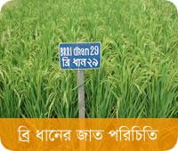 BRRI Rice Varieties