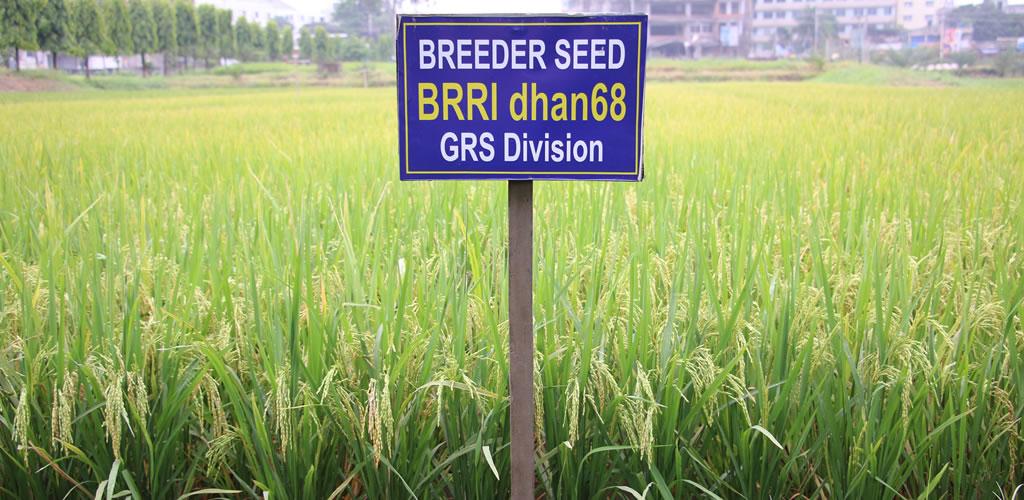 BRRI dhan68