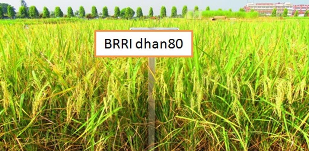 BRRI dhan80