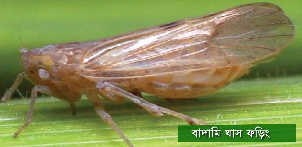 Brown planthopper