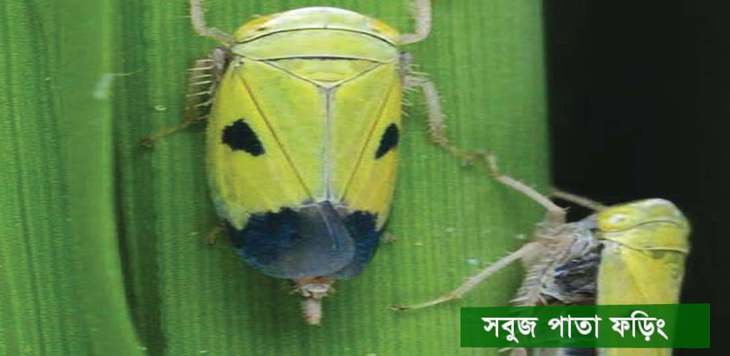 Green Leafhopper